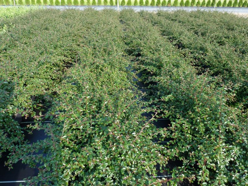 250 x Cotoneaster 'Coral beauty' Bodendecker im P9 Topf