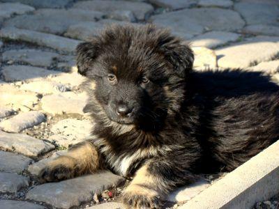 Altdeutscher schwarzer hutehund